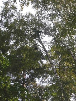 Сейчас наш альпинист спилил верхнюю часть дерева,  предварительно обвязав ее канатом,  а второй специалист, стоя на земле, страхует конец каната и контролирует спуск спиленной части дерева.