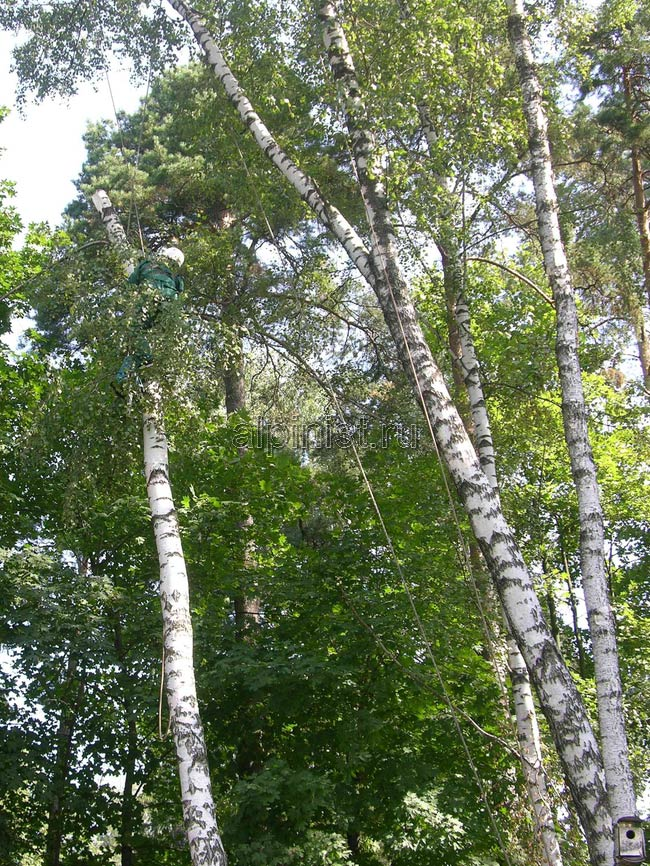 спиленные части мы спускали с помощью веревки, которую пропустили через специальный блок, установленный нами на рядом стоящем дереве