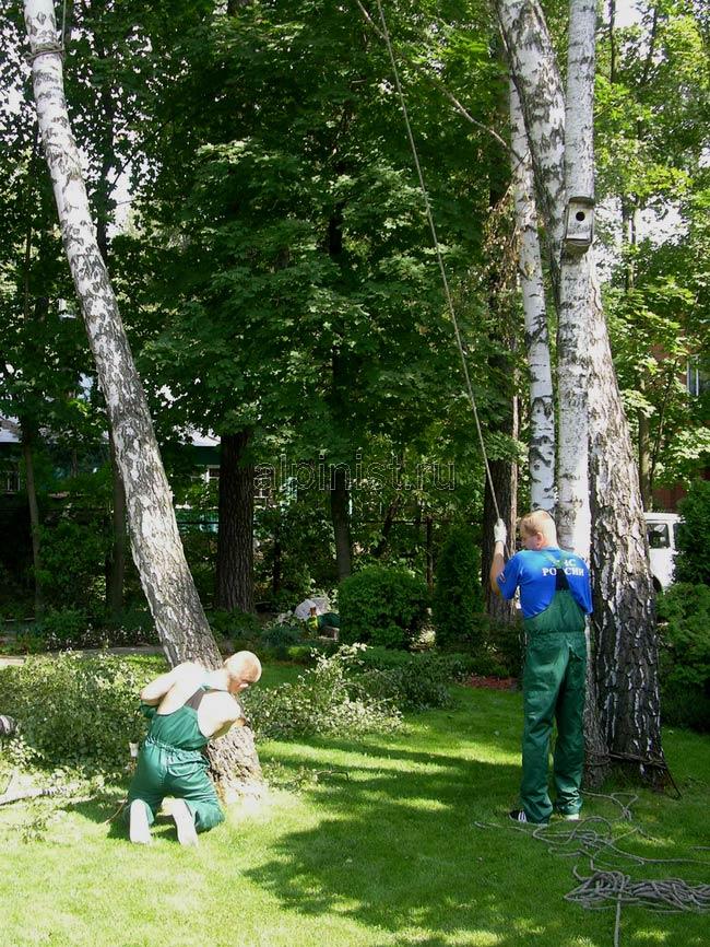 альпинист обвязал верхнюю часть дерева, а другой специалист держит канат, страхующий ствол дерева