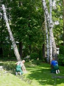 Пока один специалист подпиливает нижнюю часть ствола дерева, второй держит веревку, которая обвязывает верх ствола, тем самым страхует и контролирует спуск спиливаемой части дерева.