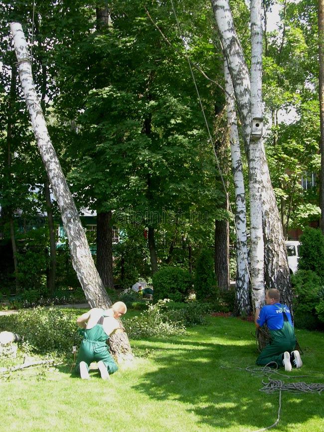один специалист подпиливает нижнюю часть ствола дерева, второй держит веревку, которая обвязывает верх ствола, тем самым страхует