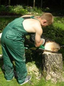 На данной фотографии видно, как наш специалист подпиливает нижнюю часть дерева, используя бензопилу, другой конец дерева обвязан канатом и страхуется другим специалистом.