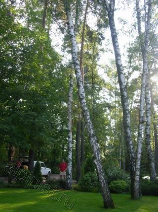 На фотографиях видно, что дерево было сильно наклонено, и для того, чтобы его безопасно спилить наш альпинист залез на другое, рядом стоящее дерево, а затем, спустившись с него, спиливал верхнюю часть аварийного дерева