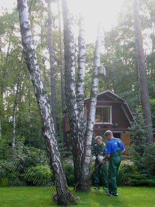 Так как дерево было сильно наклонено, нашими специалистами было принято решение залезть на рядом стоящее дерево, а потом спуститься с него на аварийное дерево, чтобы спилить верхнюю часть березы.