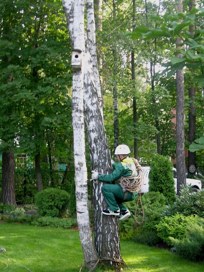 наш альпинист залезает на верхнюю часть дерева, чтобы потом перебраться на другое дерево, которое мы будем спиливать
