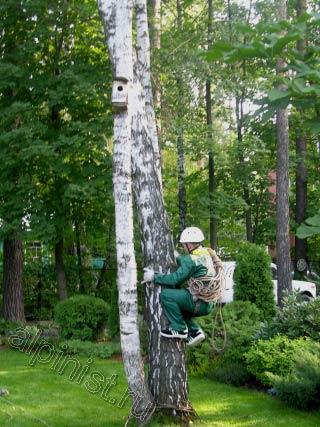 Сейчас наш альпинист залезает на верхнюю часть дерева, чтобы потом перебраться на другое дерево, которое мы будем спиливать, то дерево сильно наклонено, и для безопасности мы решили поступить именно так.
