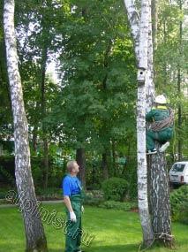 Сейчас наш альпинист залезает на дерево, чтобы после с него спуститься на верхушку другого дерева, которое мы будем спиливать, оно сильно наклонено, и сразу лезть по аварийному дереву было не безопасно, т. к. оно могло наклониться еще больше.