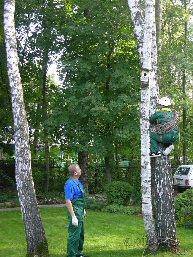 сразу лезть по аварийному дереву было не безопасно, т.к. оно могло наклониться еще больше