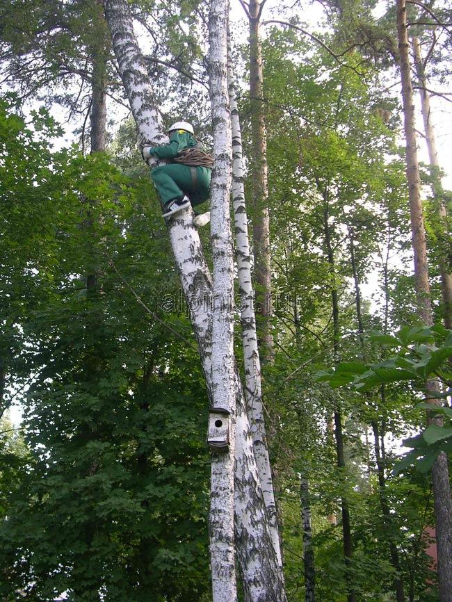 альпинист, лезет вверх на дерево, чтобы потом спиливать его по частям, начиная с самого верха