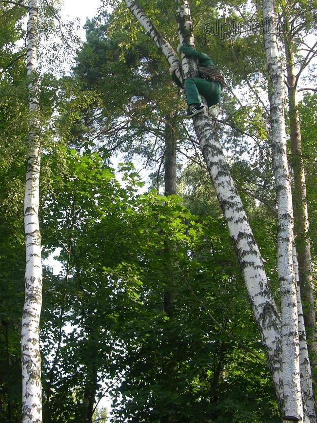 используя приемы промышленного альпинизма, наш альпинист залезает на дерево