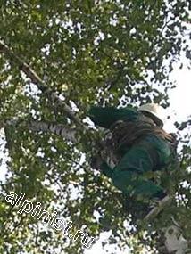 На данной фотографии видно, что наш альпинист добрался практически до самого верха 15-ти метровой березы, которая находится рядом с той, которую мы будем пилить по частям.