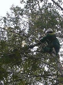 На этой фотографии наш альпинист перед тем, как спилить верхнюю часть ствола дерева обвязал ее канатом,  конец которого подстраховывал второй специалист стоящий на земле.