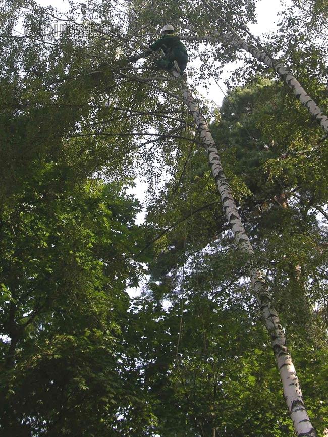 часть ствола дерева альпинист обвязал канатом,  конец которого подстраховывал второй специалист стоящий на земле